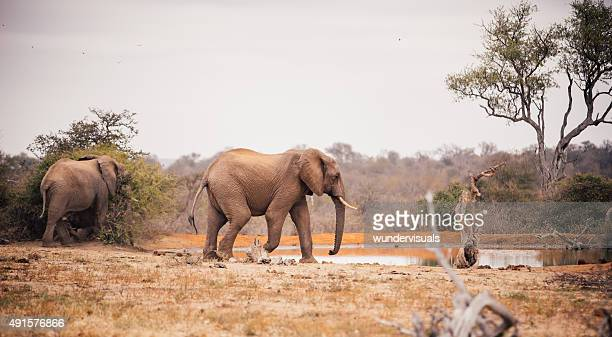 Two large elephants approaching a watering hole in African landsacpe