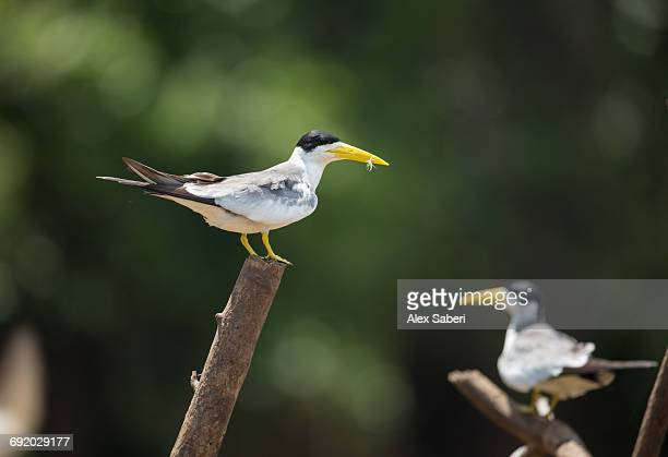 two large-billed terns, phaetusa simplex, perching on branch in mamiraua sustainable development reserve. - alex saberi fotografías e imágenes de stock