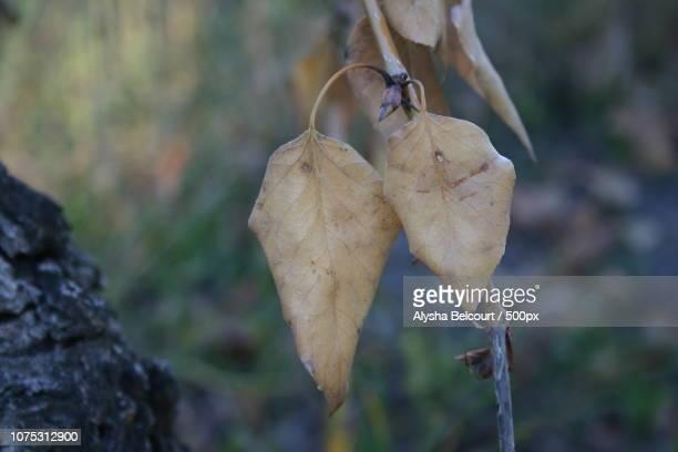 two leaf