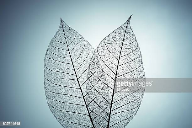 Two Leaf Skeleton