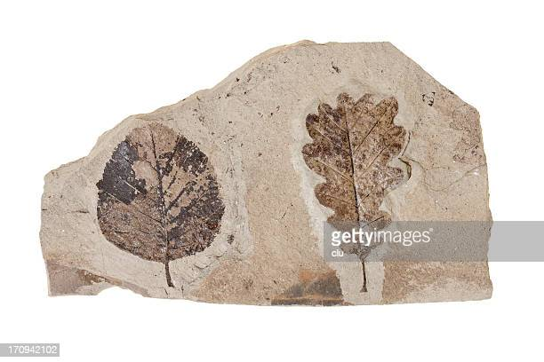 two leafs fossil on white background - fossil stock photos and pictures