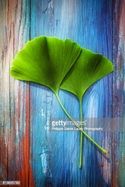 Two leaves of Ginkgo