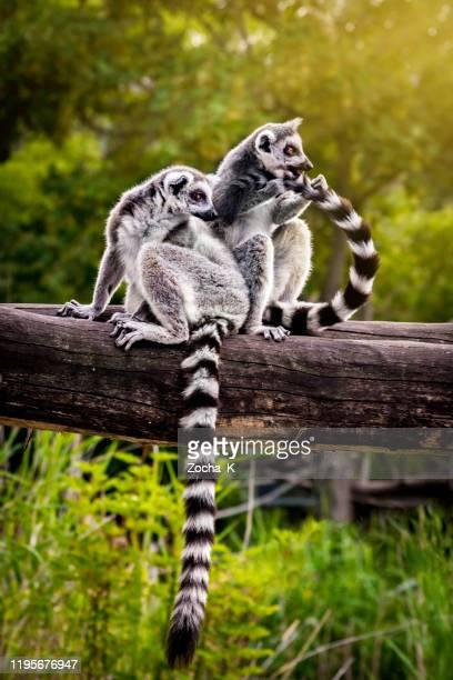 zwei lemuren auf umgestürztem baumstamm - animals in the wild stock-fotos und bilder