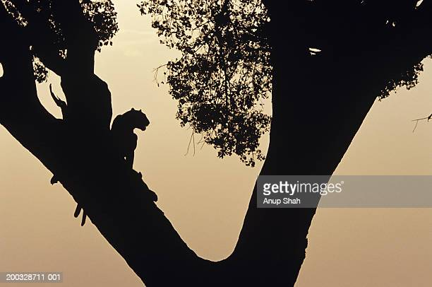 Two leopards (Panthera pardus) in tree at sunset, Kenya