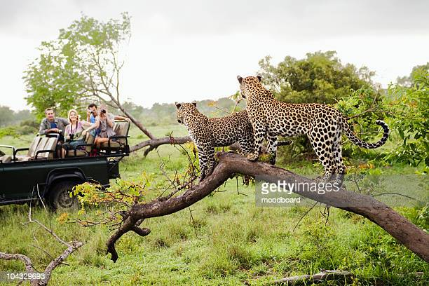 two leopards on tree watching tourists in jeep, back view - south africa stock pictures, royalty-free photos & images