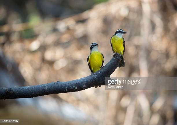 two lesser kiskadees, pitangus lictor, perching on branch in the amazon jungle. - alex saberi stock pictures, royalty-free photos & images