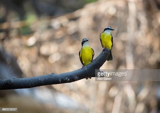 two lesser kiskadees, pitangus lictor, perching on branch in the amazon jungle. - alex saberi fotografías e imágenes de stock
