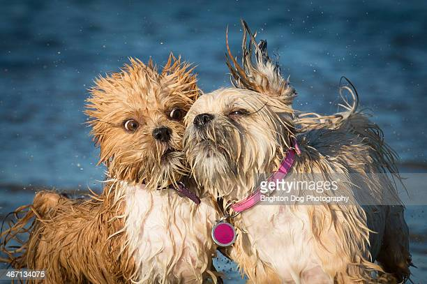 two lhasa apso dogs playing in water - lhasa apso stock photos and pictures