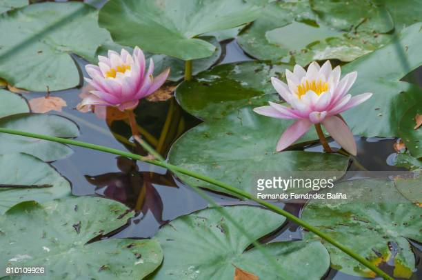 Two lilies on a pond