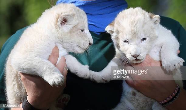 Two lion cubs are presented to the press on May 6 2016 at the zoo in Magdeburg eastern Germany The cubs were born on April 26 2016 / AFP / dpa / Jens...