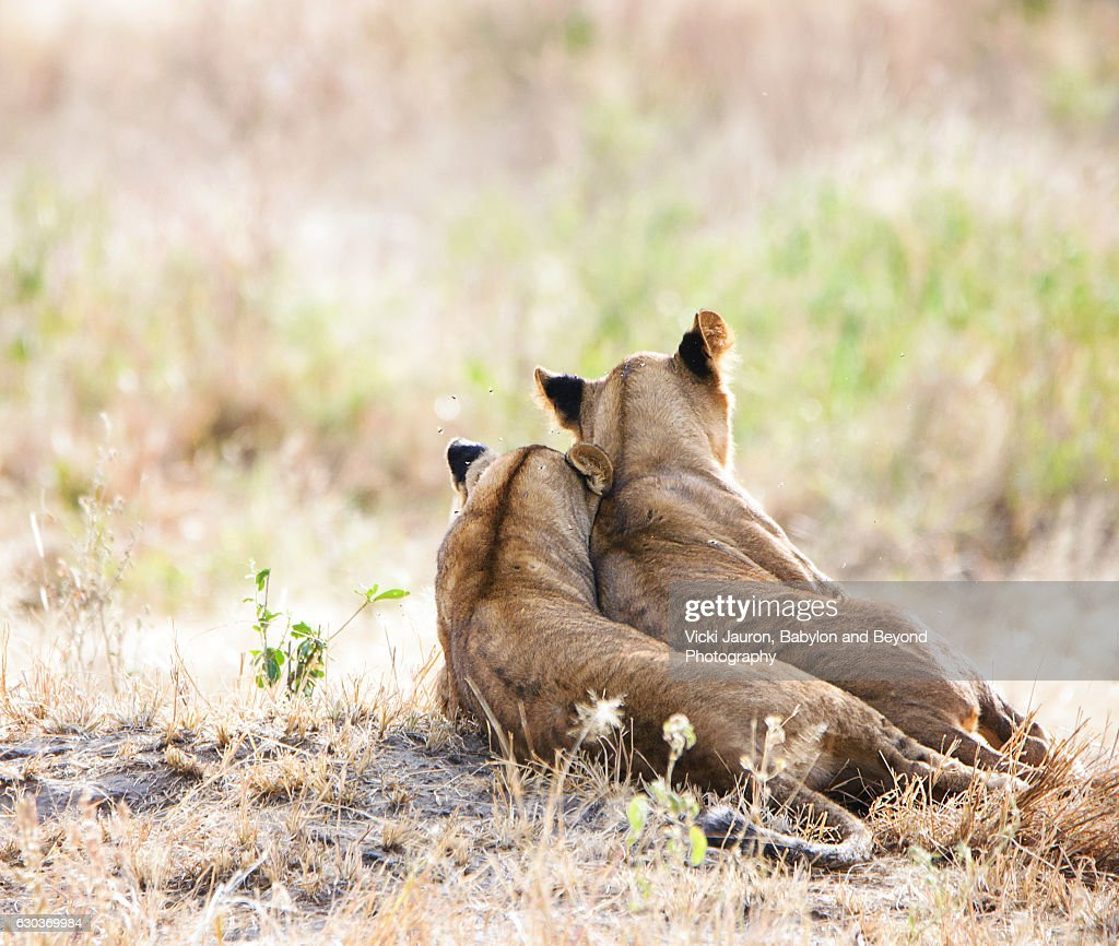 Two Lion Cubs in Tarangire, Tanzania : Stock Photo