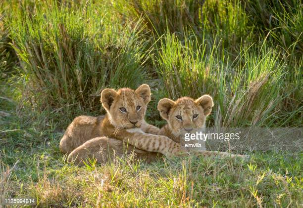 two lion cubs in the masai mara kenya - lion cub stock pictures, royalty-free photos & images
