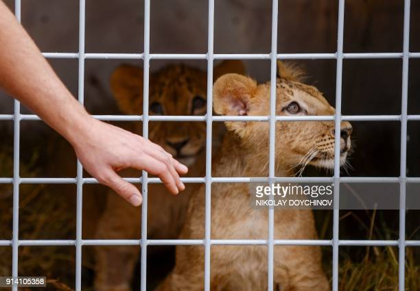 Two lion cubs named Masoud and Terez stare out of their transportation cage in Sofia on February 4 2018 ahead of their transportation to a...