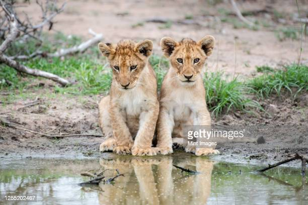 two lion cubs, panthera leo, sit together at the edge of a water hole, reflections in water - two animals stock pictures, royalty-free photos & images