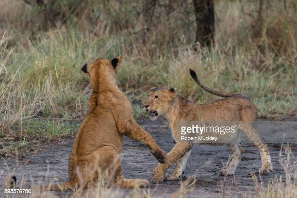 Two lion Cubs Play