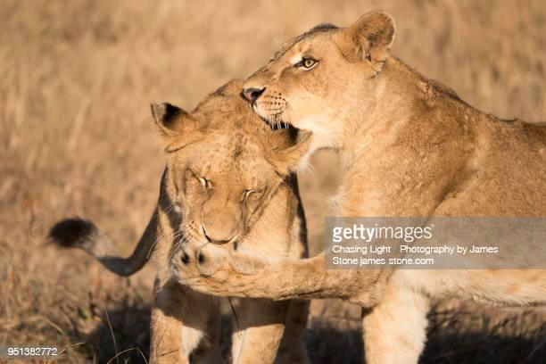 Two lion cubs play-fighting