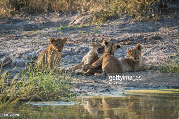 two lion cubs playing beside two others - category:cs1_maint:_others stock pictures, royalty-free photos & images