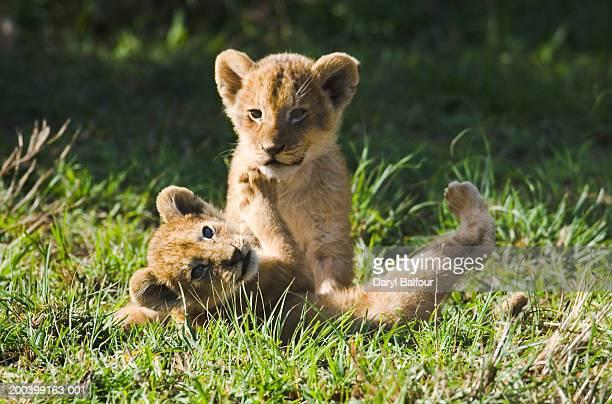 two lion cubs (panthera leo) playing in grass - lion cub - fotografias e filmes do acervo