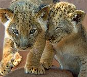 two lion cubs playing mpumalanga south