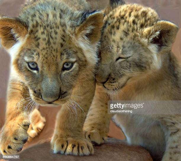 Two Lion cubs playing, Mpumalanga, South Africa