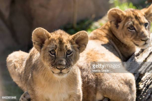 Two Lion Cubs Resting in the Sub