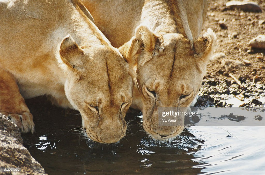 Two Lionesses Drinking Water From a Puddle : Stock Photo