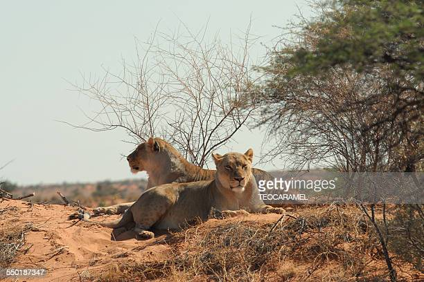 Two lionesses lengthened in the Kalahari san
