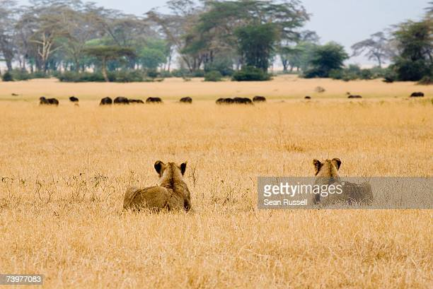 Two lionesses stalking water buffalo