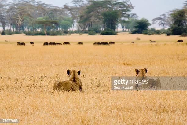 two lionesses stalking water buffalo - leones cazando fotografías e imágenes de stock