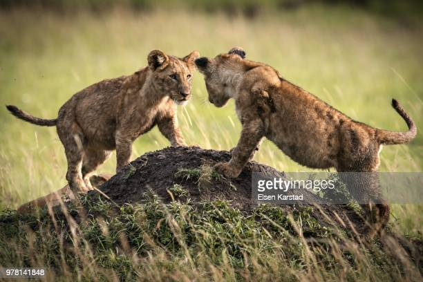 two lions cubs playing on mound, kenya - lion cub stock photos and pictures