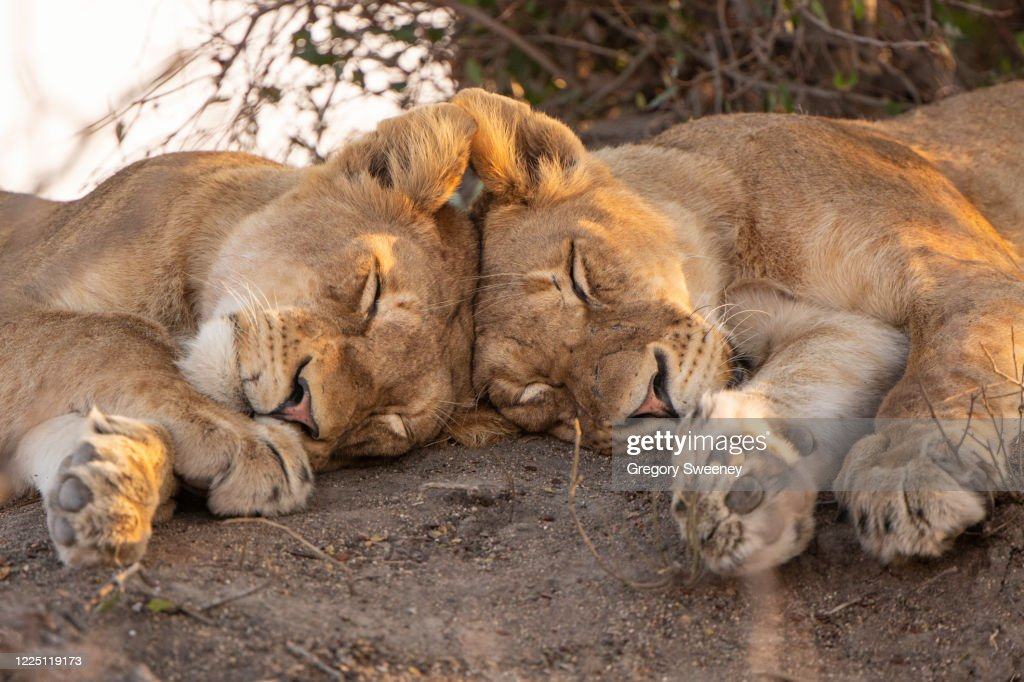 two lions sleep with heads touching : Stock Photo