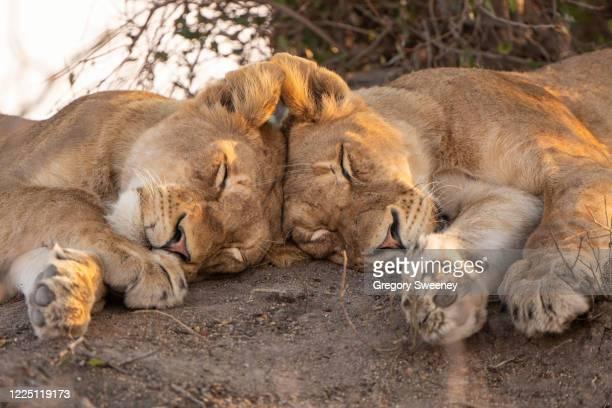 two lions sleep with heads touching - wilde tiere stock-fotos und bilder