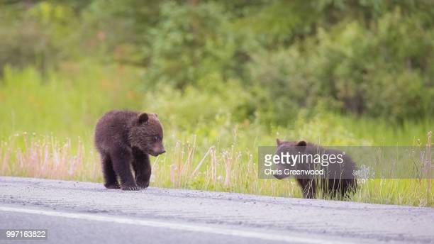 two little bears. - bear cub stock pictures, royalty-free photos & images