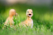 http://www.istockphoto.com/photo/two-little-duckling-on-green-grass-gm695237406-128511259
