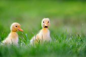 http://www.istockphoto.com/photo/two-little-duckling-on-green-grass-gm695237418-128511267