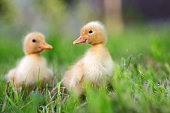 http://www.istockphoto.com/photo/two-little-duckling-on-green-grass-gm802008332-130012399