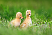 http://www.istockphoto.com/photo/two-little-duckling-on-green-grass-gm802008338-130012401
