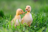 http://www.istockphoto.com/photo/two-little-duckling-on-green-grass-gm802008340-130012403