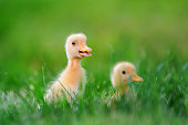 http://www.istockphoto.com/photo/two-little-duckling-on-green-grass-gm802008344-130012405