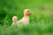 http://www.istockphoto.com/photo/two-little-duckling-on-green-grass-gm802008346-130012407