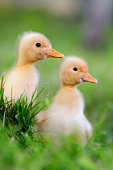 http://www.istockphoto.com/photo/two-little-duckling-on-green-grass-gm812647714-131438179