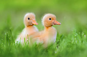 http://www.istockphoto.com/photo/two-little-duckling-on-green-grass-gm812647718-131438181