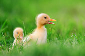 http://www.istockphoto.com/photo/two-little-duckling-on-green-grass-gm812647724-131438187