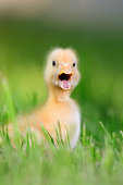 http://www.istockphoto.com/photo/two-little-duckling-on-green-grass-gm812649434-131438209