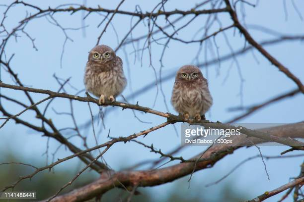 two little owls ( athene noctua) on bare branch - two animals stock pictures, royalty-free photos & images