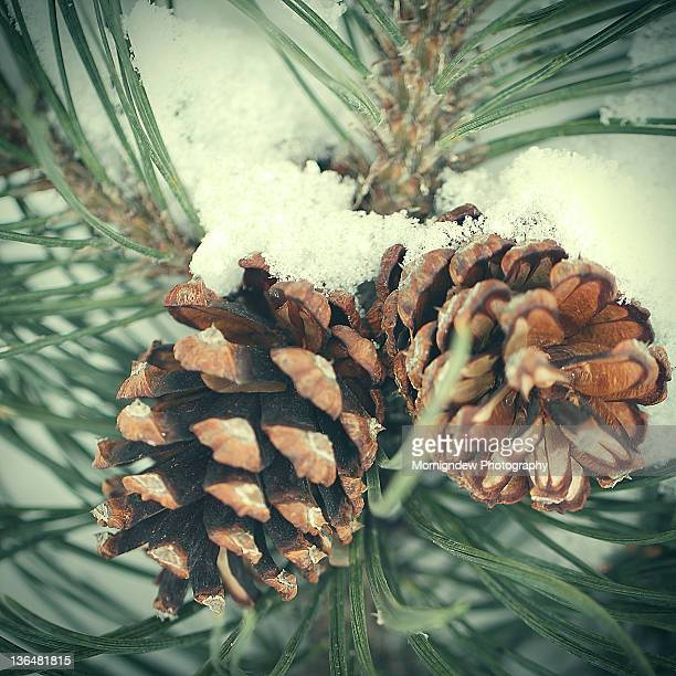 Two little pine cones