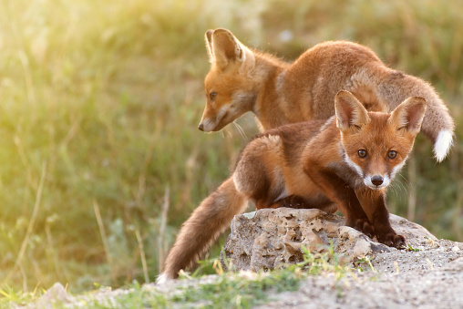 Two Little Red Fox near his hole 969844966
