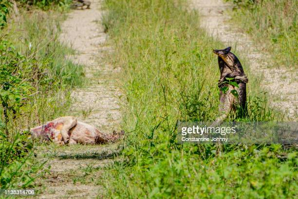 two lizards fighting over carcass - dead animal stock pictures, royalty-free photos & images
