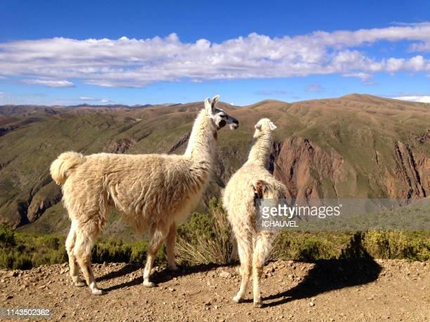 two llamas bolivia - 2匹 ストックフォトと画像