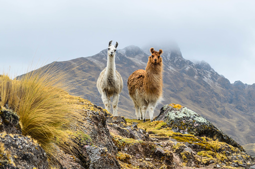 Two llamas standing on a ridge in front of a mountain. 1197227234